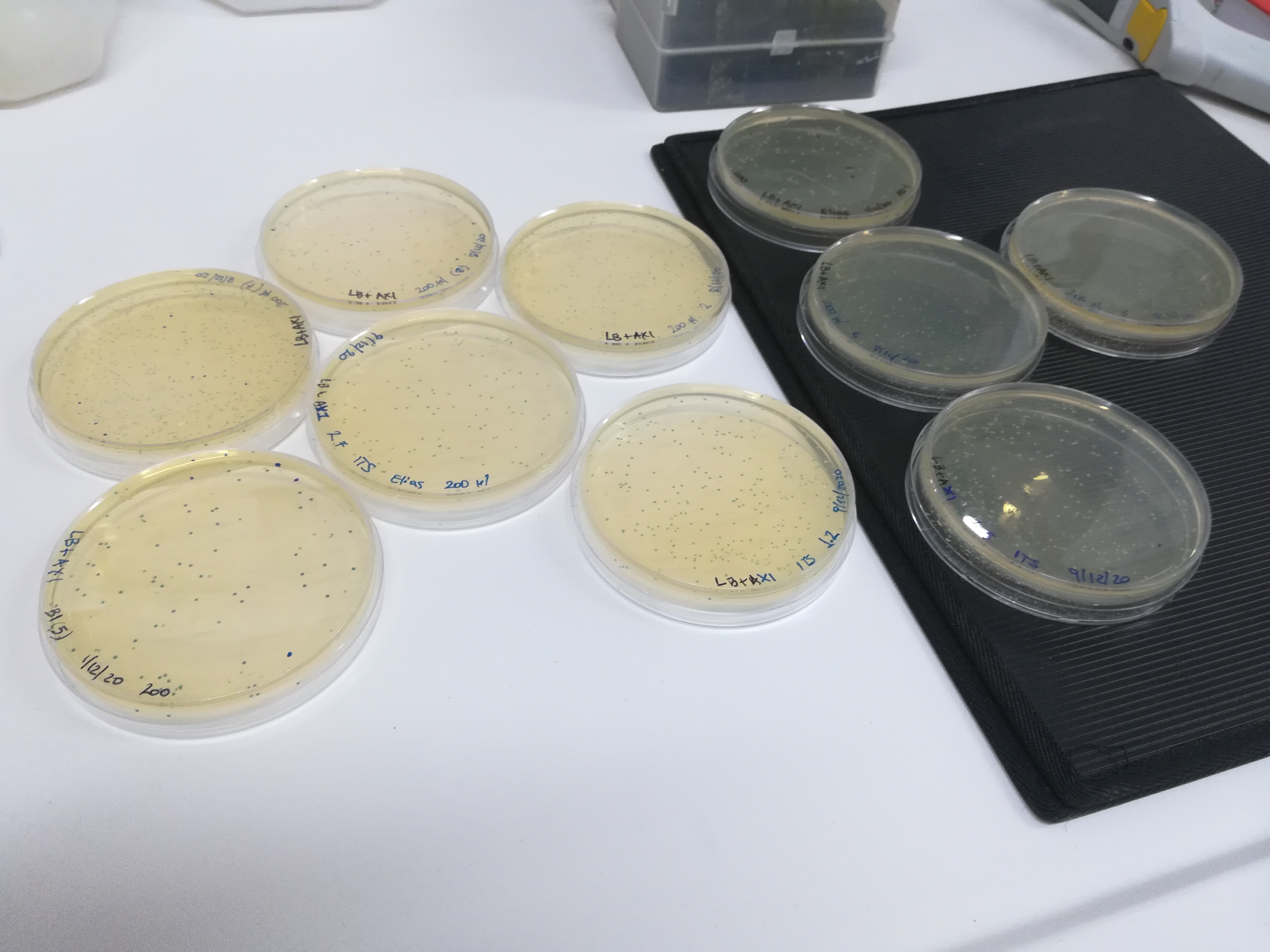 Αποτελέσματα κλωνοποίησης. Εμφανιση λευκών/μπλε αποικιών (ΕΜΓΜ)