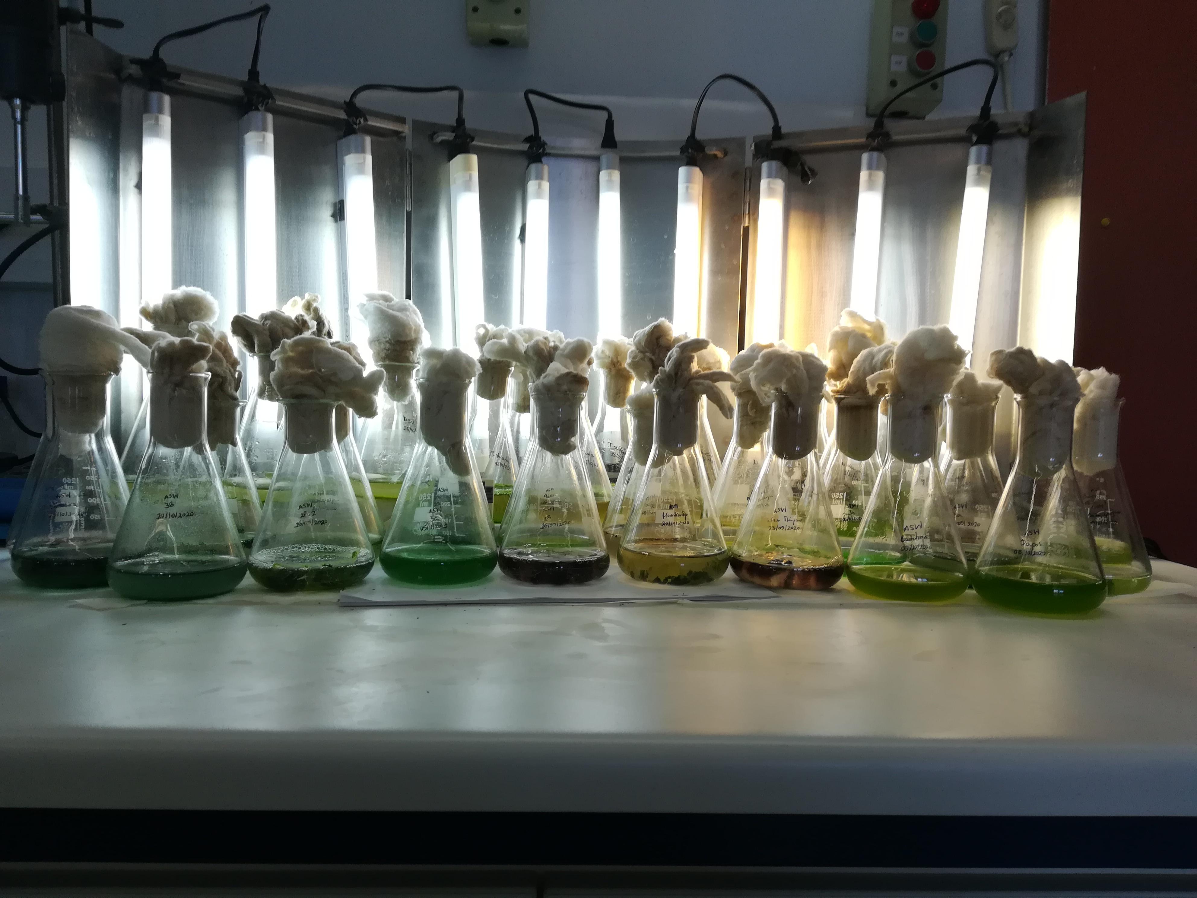 Καλλιέργειες των απομονωθέντων στελεχών μικροφυκών και κυανοβακτηρίων σε φιάλες Erlenmeyer 250cc (ΕΜ)